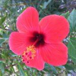Hibiskus röd
