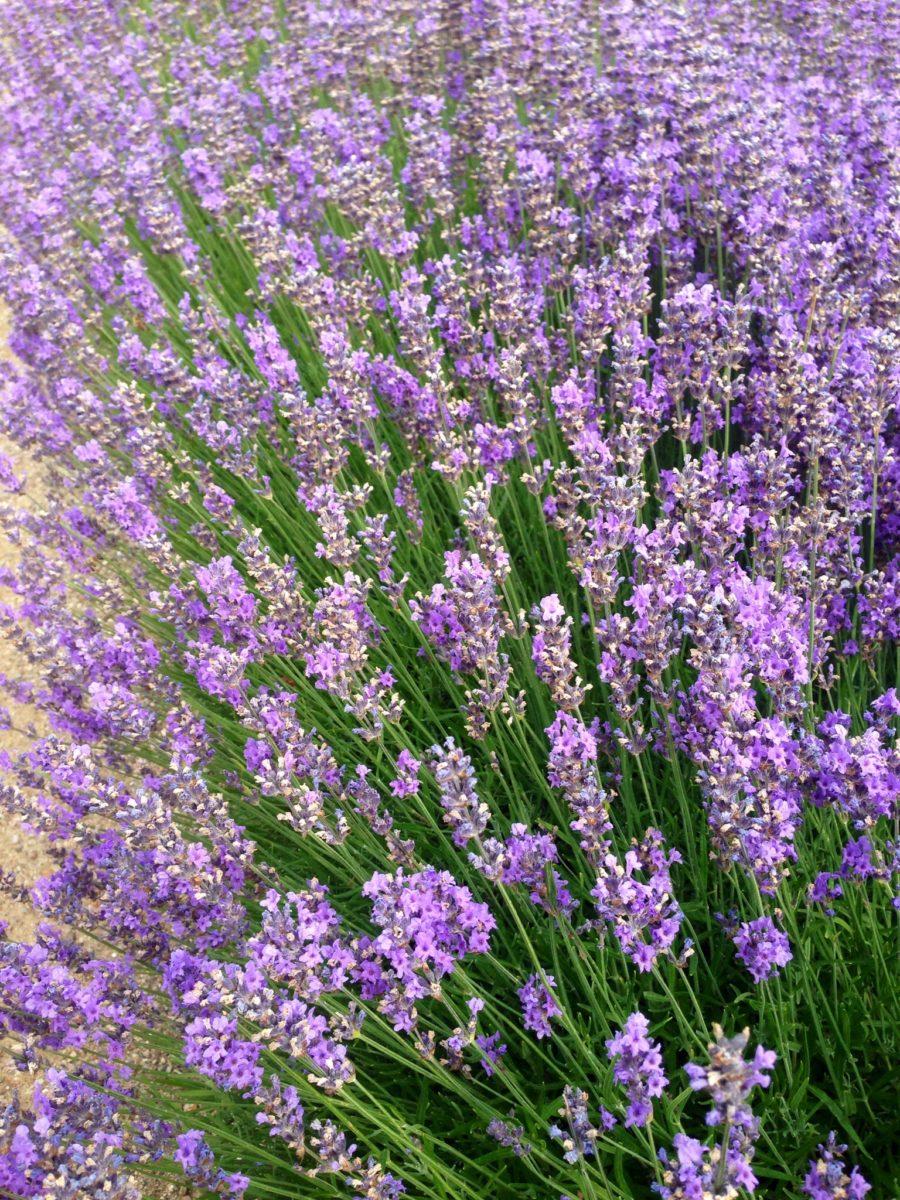 Lavendelskörd